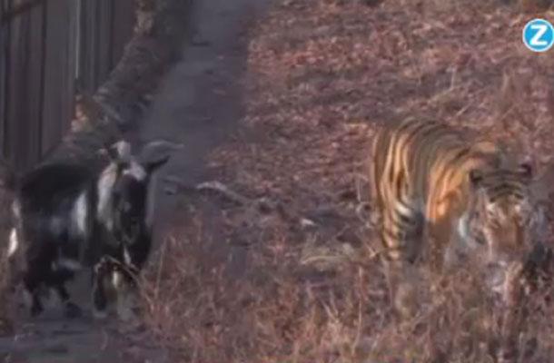 Bijzonder: Geit en tijger vrienden voor het leven