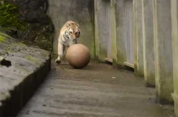 Deze tijger kan voetballen