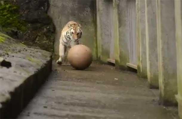 De tijger kan voetballen